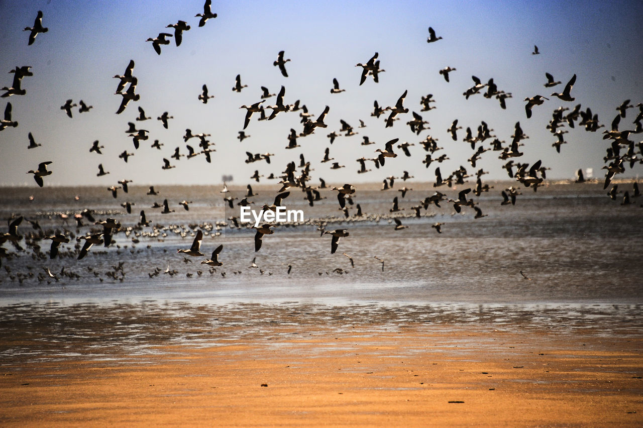 flying, bird, large group of animals, flock of birds, animal themes, animal wildlife, animals in the wild, outdoors, beach, nature, motion, migrating, sea, togetherness, no people, day, sky