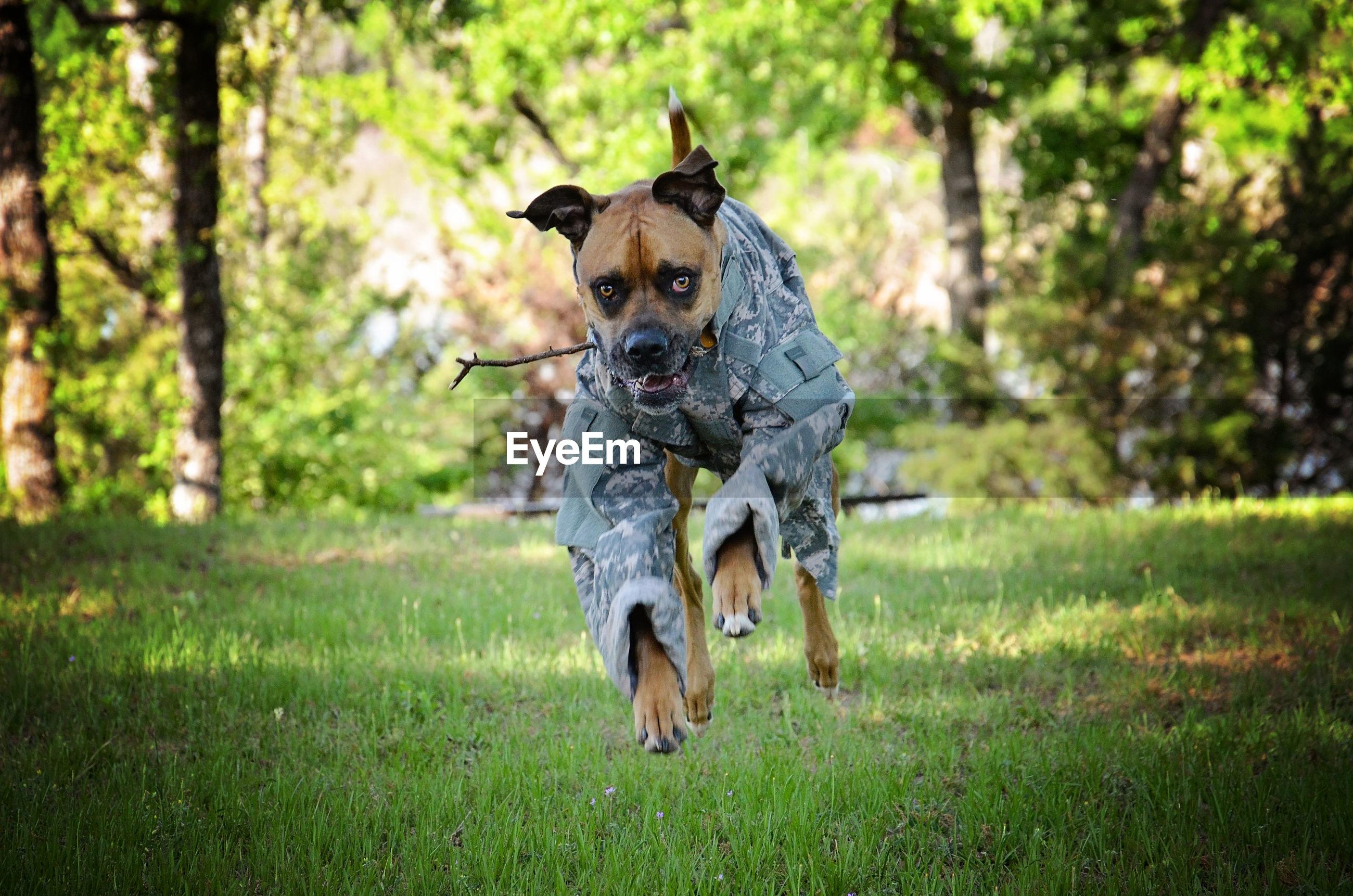 Dog in military uniform running on grass