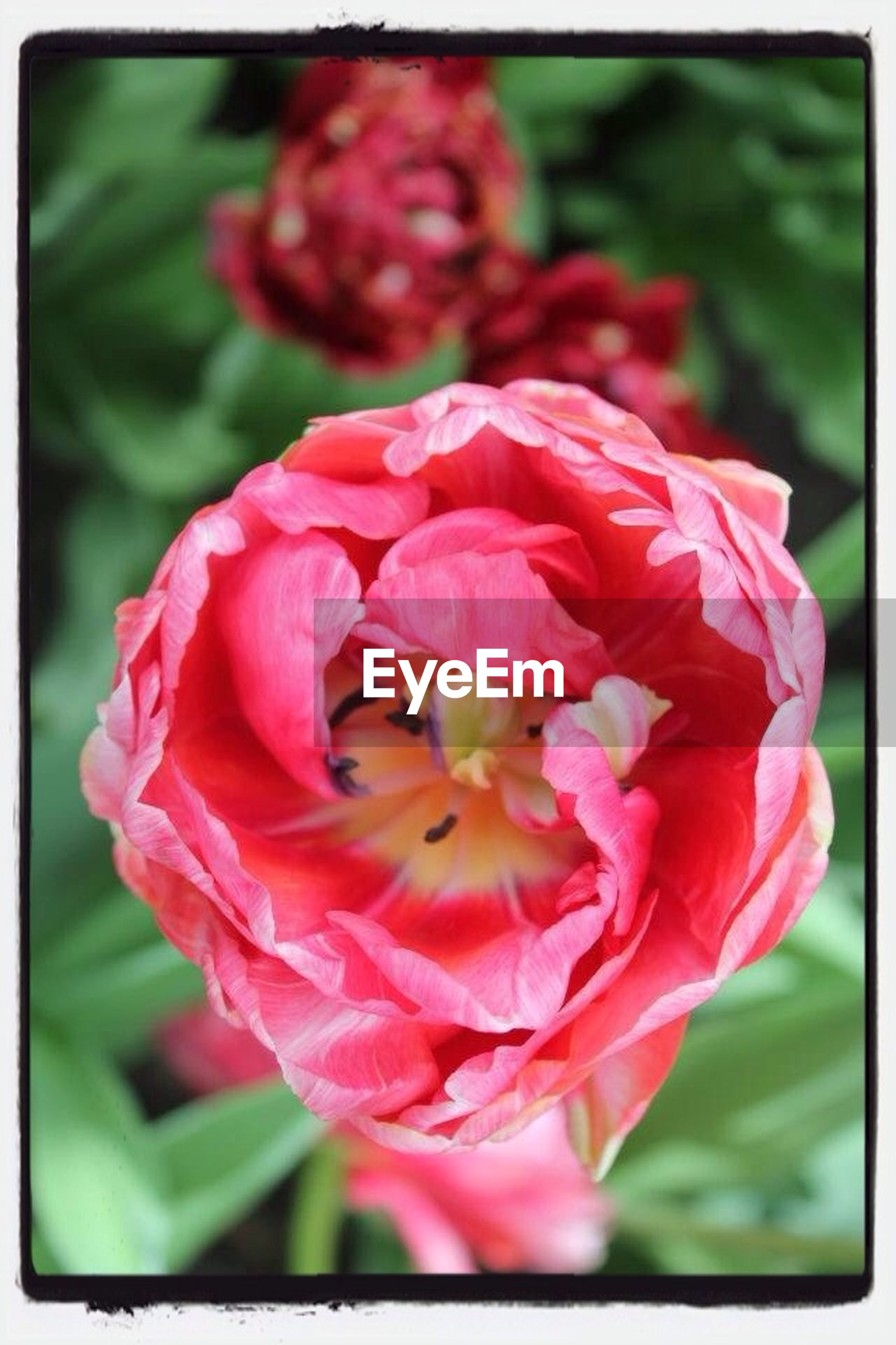 flower, transfer print, petal, freshness, flower head, fragility, auto post production filter, close-up, focus on foreground, beauty in nature, red, growth, nature, blooming, in bloom, pink color, plant, blossom, rose - flower, selective focus