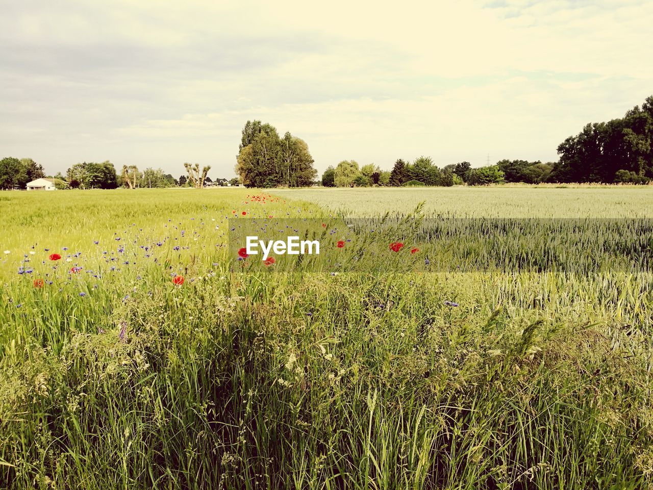 growth, field, nature, beauty in nature, tranquility, landscape, sky, agriculture, grass, plant, rural scene, crop, scenics, no people, tree, outdoors, flower, tranquil scene, day, poppy