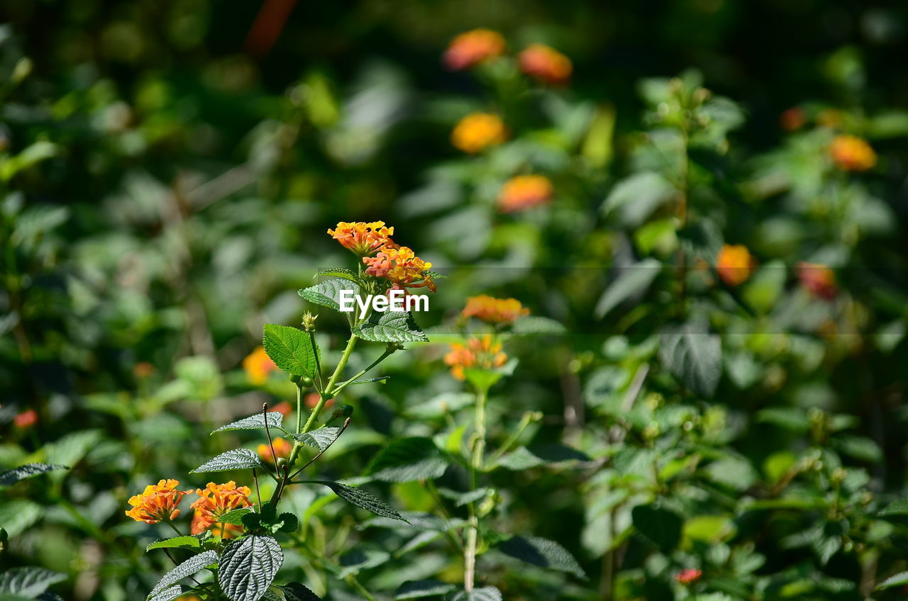 flower, growth, nature, beauty in nature, plant, fragility, freshness, green color, no people, outdoors, day, flower head, blooming, petal, leaf, lantana camara, close-up