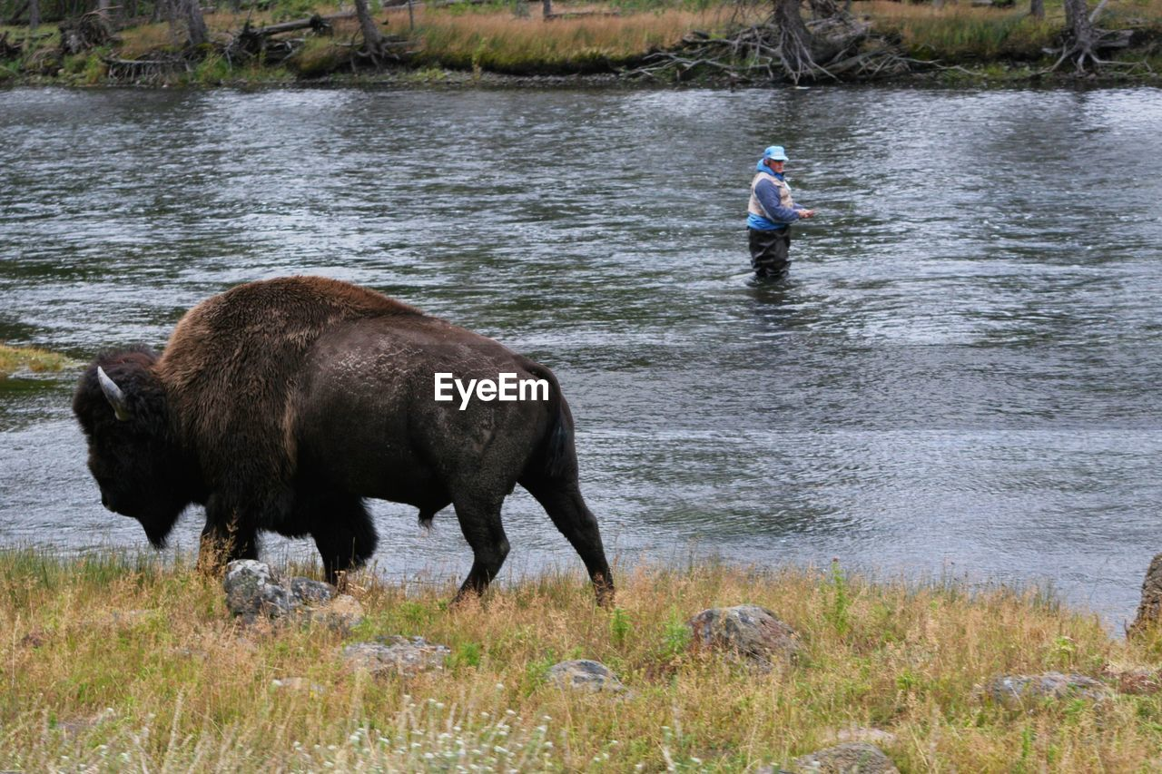 nature, one animal, animal wildlife, outdoors, standing, river, day, mammal, side view, real people, animals in the wild, men, american bison, one person, grass, water, adult, full length, one man only, people