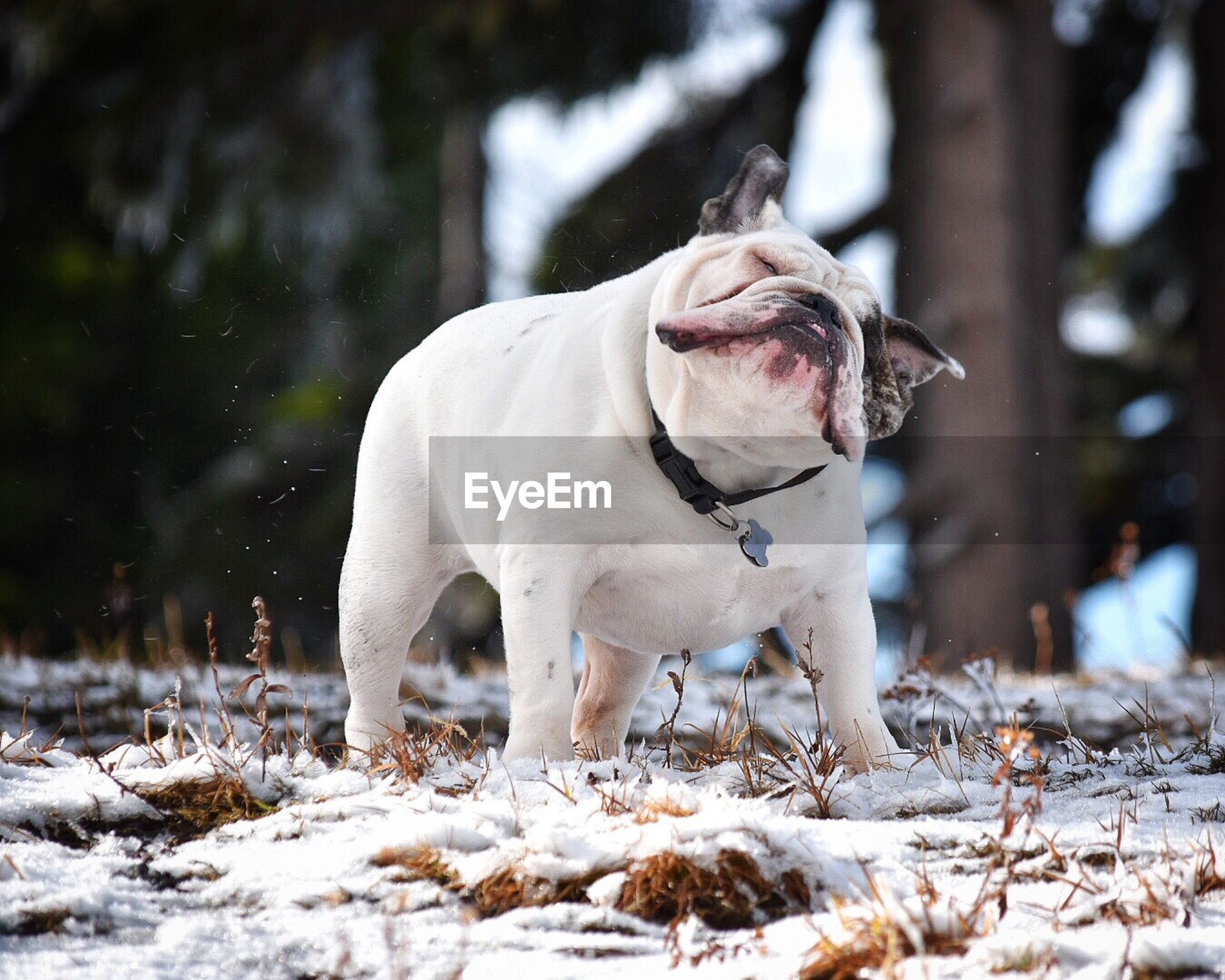 English bulldog on snowfield