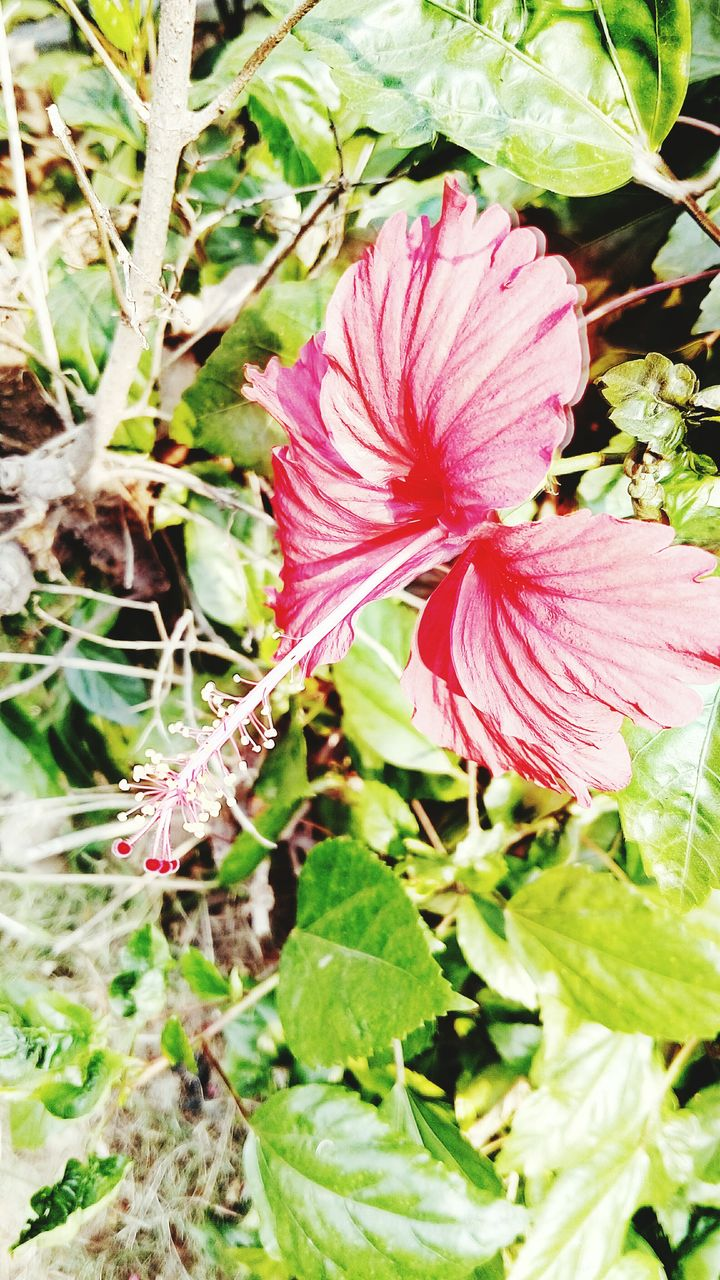flower, fragility, petal, nature, growth, flower head, plant, day, beauty in nature, no people, freshness, outdoors, close-up, pink color, blooming, leaf, hibiscus