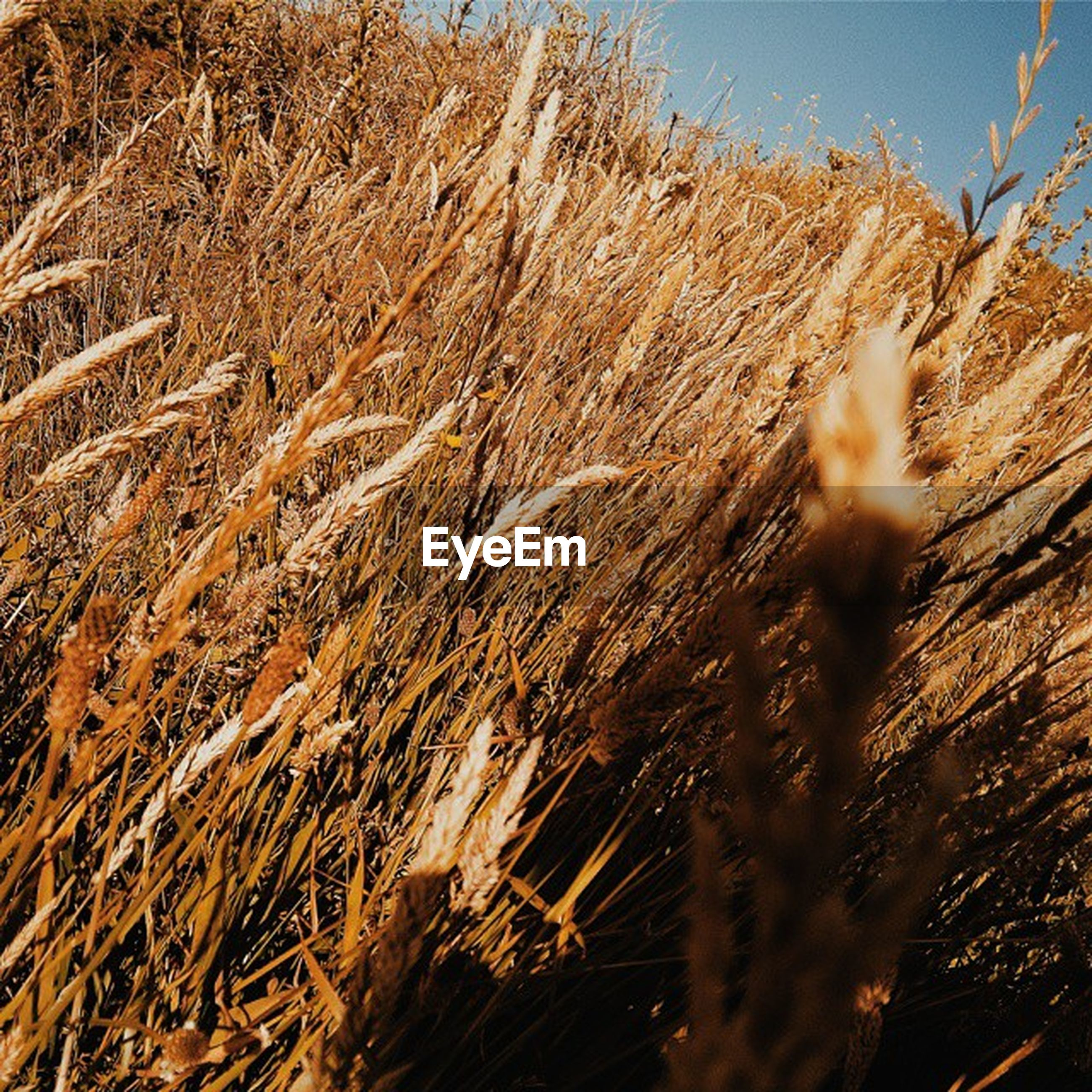 growth, tranquility, plant, nature, grass, field, beauty in nature, sunlight, tranquil scene, sunset, close-up, reed - grass family, outdoors, scenics, sky, dry, no people, growing, day, landscape