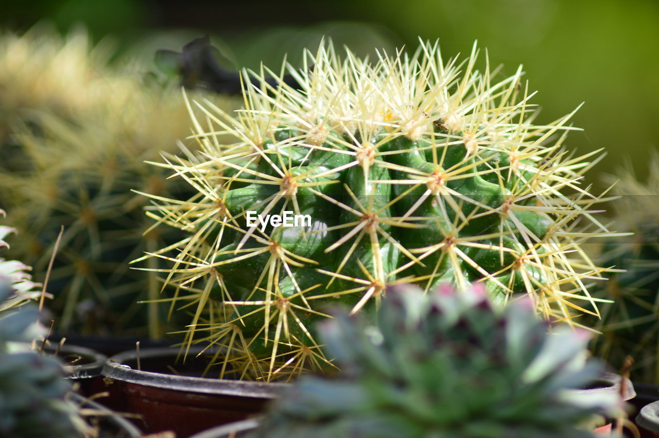 cactus, thorn, growth, plant, nature, spiked, green color, risk, selective focus, close-up, no people, danger, potted plant, outdoors, beauty in nature, day, prickly pear cactus