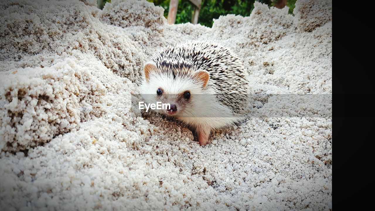animal themes, animal, mammal, one animal, animal wildlife, animals in the wild, no people, domestic, vertebrate, pets, day, domestic animals, rodent, looking at camera, hedgehog, portrait, close-up, nature, cute, outdoors, small