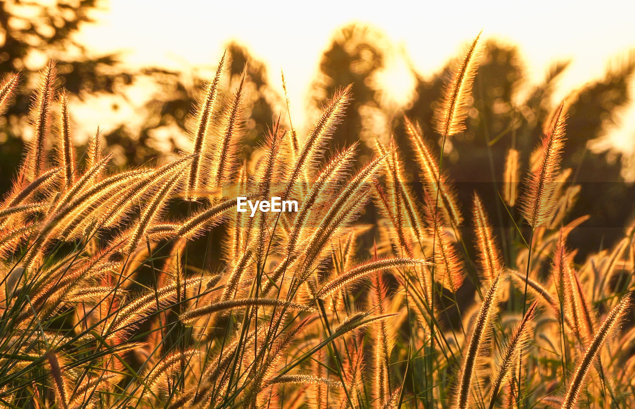 growth, plant, beauty in nature, cereal plant, agriculture, nature, close-up, tranquility, no people, farm, sky, crop, day, field, focus on foreground, wheat, rural scene, land, outdoors, landscape, stalk, timothy grass