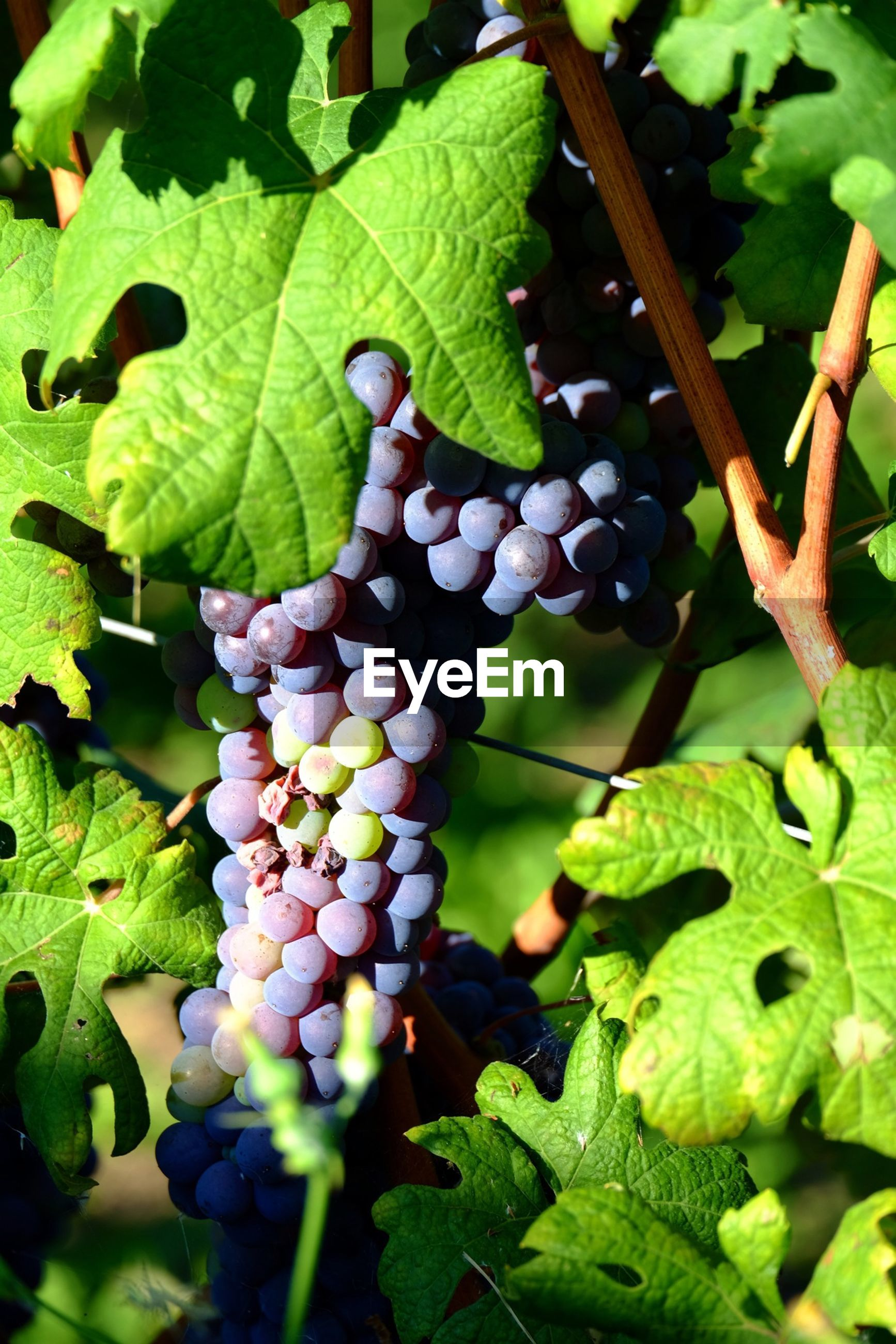 Close-up grapes growing in vineyard