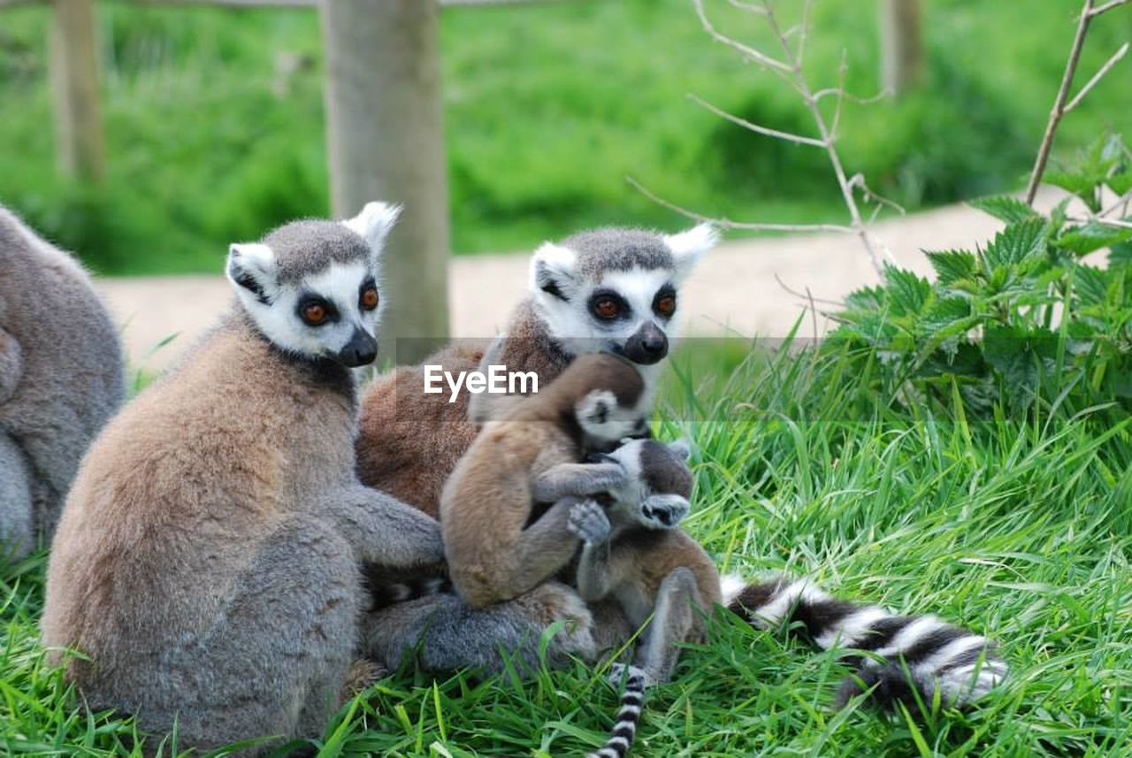 animals in the wild, animal themes, mammal, lemur, grass, animal wildlife, day, outdoors, no people, nature, looking at camera, sitting, monkey, portrait, togetherness, close-up