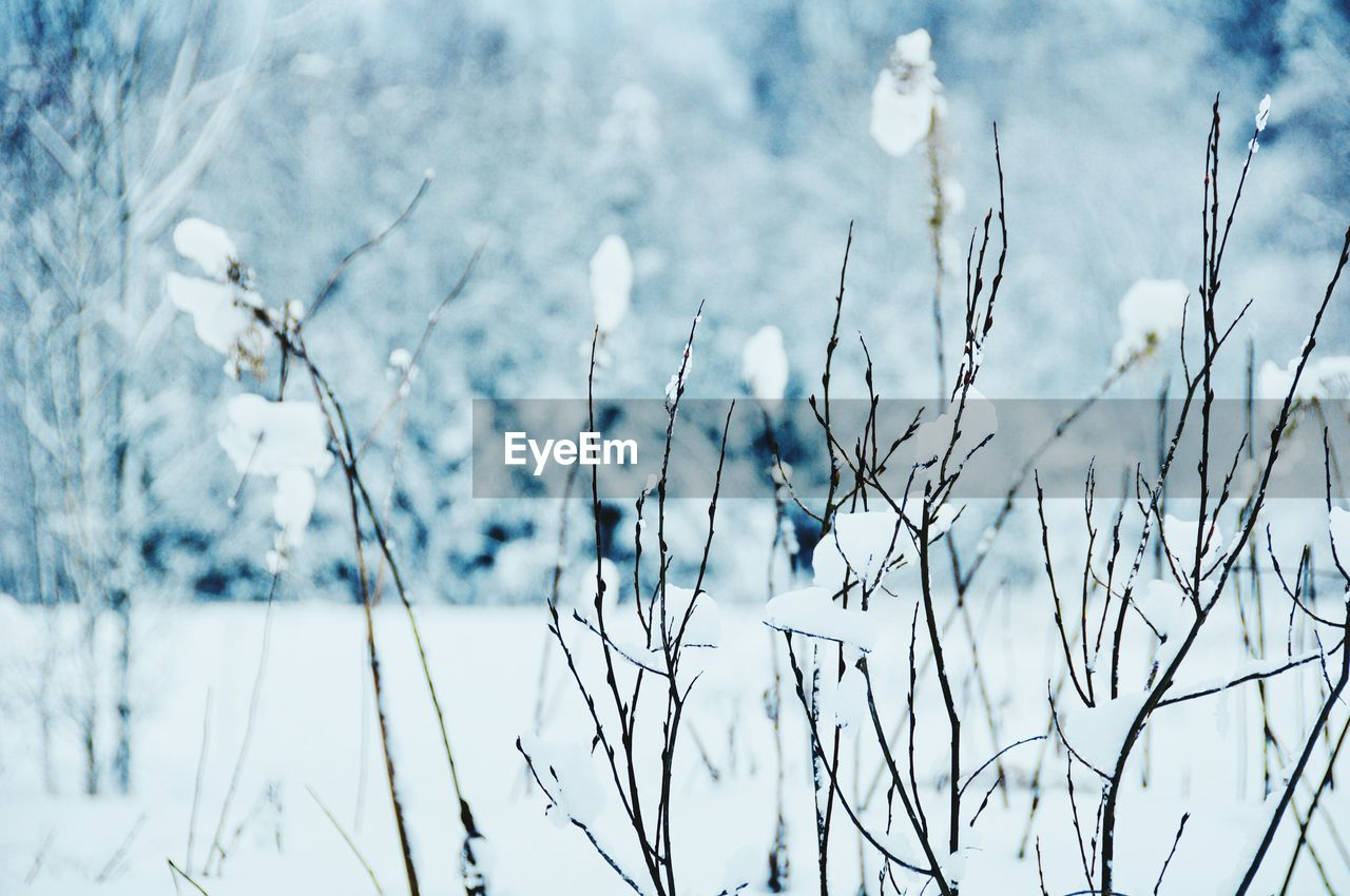 winter, cold temperature, plant, snow, focus on foreground, nature, beauty in nature, day, no people, tranquility, close-up, frozen, growth, tree, white color, outdoors, field, land, covering
