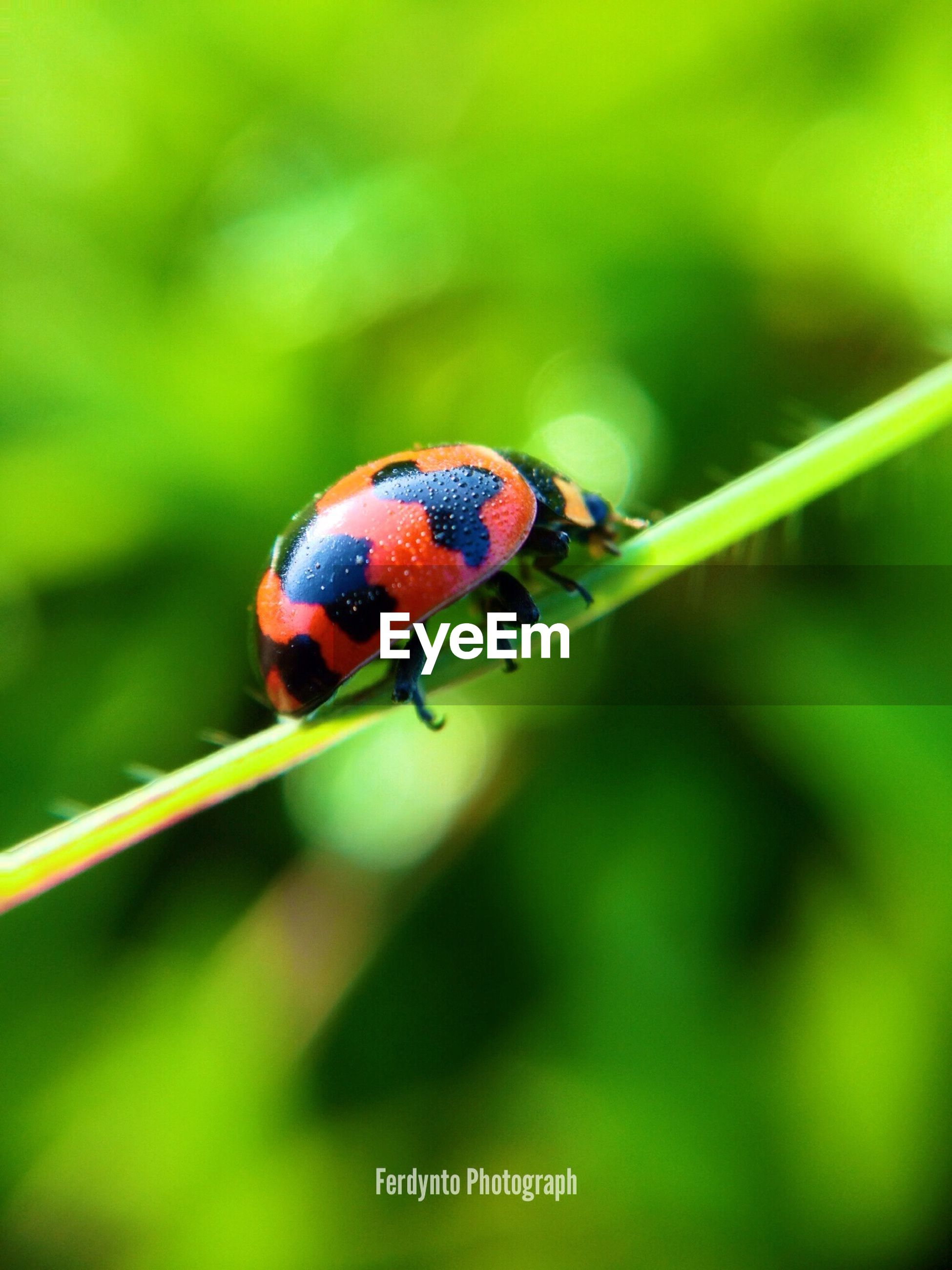 animal themes, one animal, animals in the wild, insect, wildlife, focus on foreground, close-up, ladybug, green color, red, selective focus, nature, leaf, day, plant, outdoors, no people, beauty in nature, full length, spotted