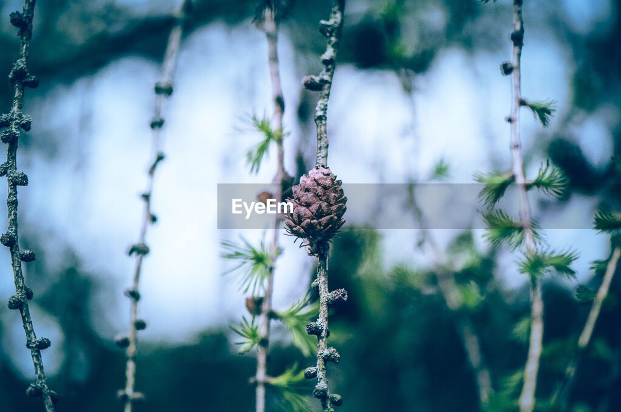 plant, growth, nature, day, no people, close-up, beauty in nature, freshness, flower, focus on foreground, selective focus, flowering plant, pine cone, fragility, tree, outdoors, plant stem, vulnerability, tranquility, berry fruit, flower head, coniferous tree, purple