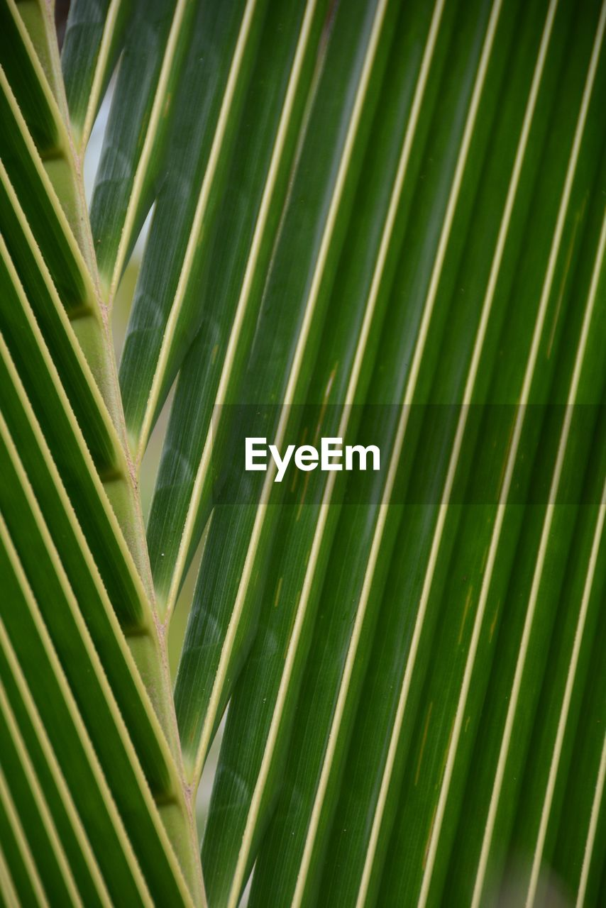 green color, palm leaf, nature, palm tree, close-up, growth, day, backgrounds, leaf, frond, outdoors, full frame, no people, plant, beauty in nature, tree, freshness