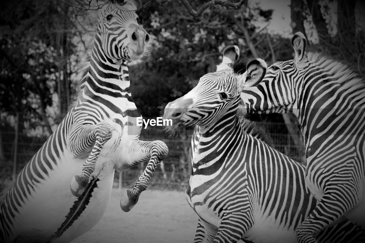 zebra, striped, animal, animal themes, animal wildlife, animals in the wild, group of animals, mammal, vertebrate, focus on foreground, nature, no people, day, safari, outdoors, animal markings, land, zoology, domestic animals, drinking, herbivorous, herd, mouth open