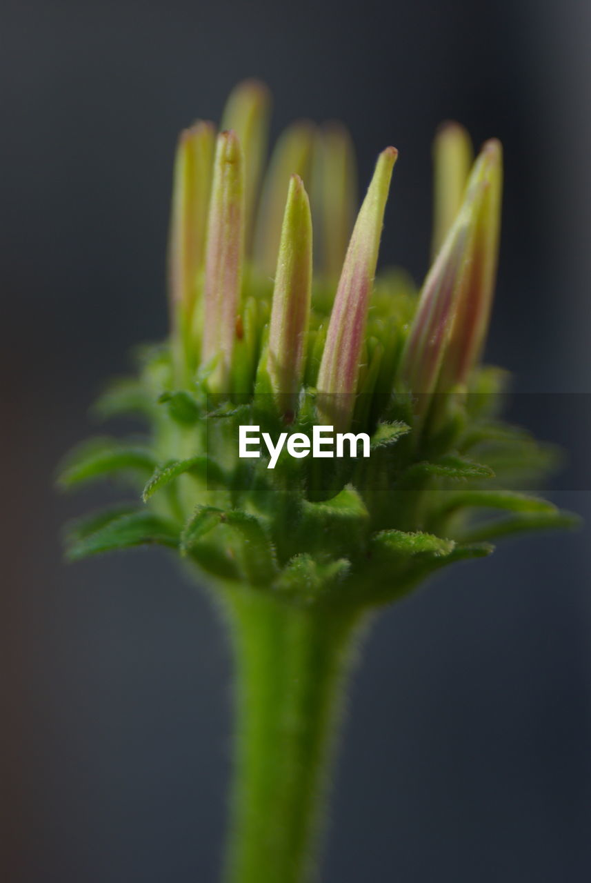 close-up, green color, studio shot, freshness, no people, black background, plant, indoors, beauty in nature, growth, flower, food and drink, vegetable, nature, food, selective focus, vulnerability, fragility, plant stem, still life, sepal