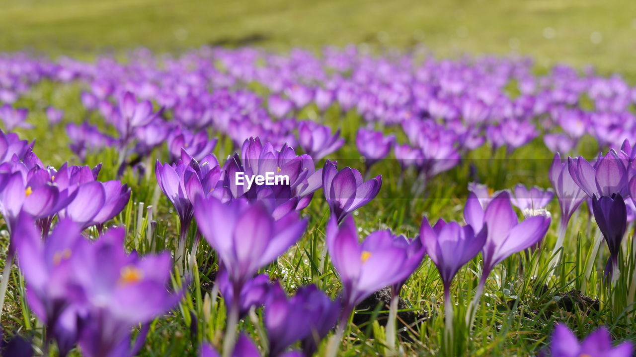 flowering plant, flower, plant, beauty in nature, freshness, vulnerability, growth, purple, fragility, petal, close-up, land, field, selective focus, nature, no people, day, inflorescence, flower head, crocus, outdoors, iris, springtime, flowerbed