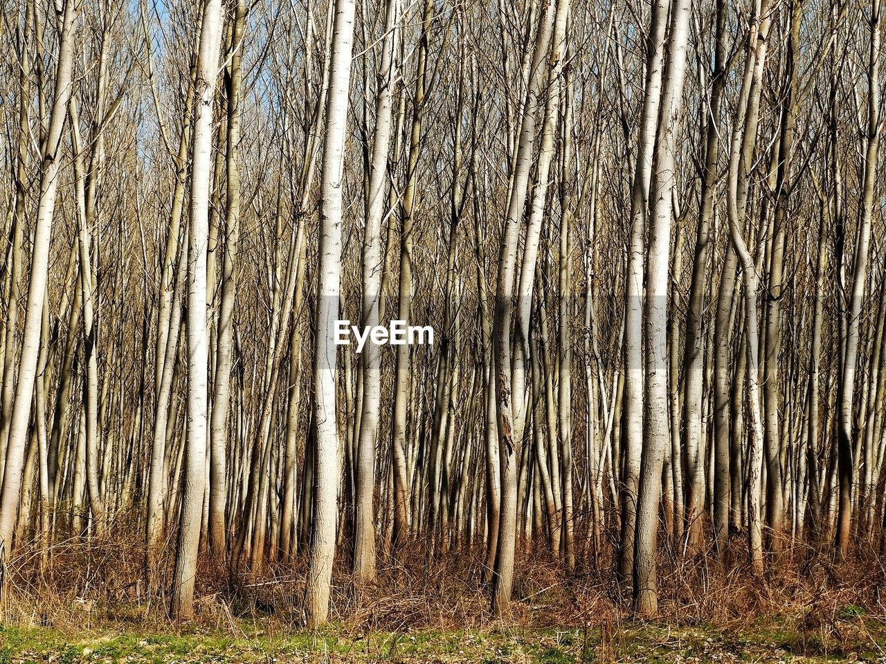 plant, tree, land, tree trunk, trunk, forest, nature, no people, day, growth, tranquility, woodland, outdoors, beauty in nature, grass, environment, field, landscape, backgrounds, non-urban scene, bamboo - plant