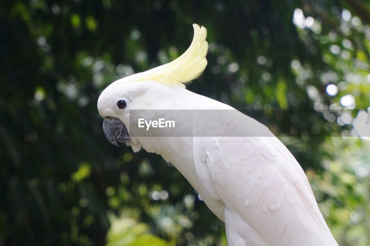 animal, animal themes, white color, bird, animal wildlife, one animal, cockatoo, parrot, vertebrate, focus on foreground, animals in the wild, no people, close-up, tree, day, plant, nature, outdoors, low angle view, beak, eagle