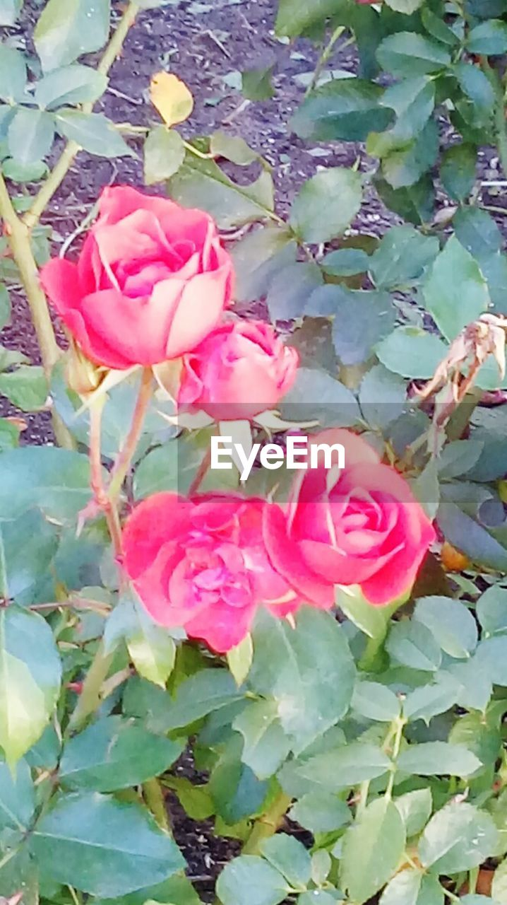 flower, growth, petal, nature, beauty in nature, fragility, plant, pink color, rose - flower, flower head, leaf, freshness, blooming, no people, outdoors, green color, day, close-up