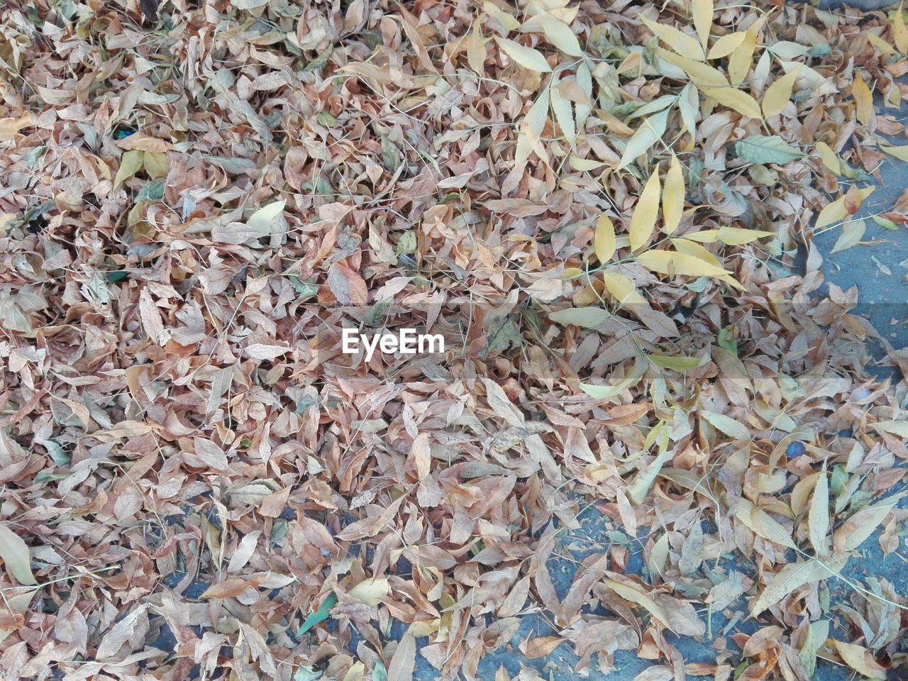 leaf, abundance, large group of objects, full frame, dry, autumn, no people, high angle view, change, close-up, backgrounds, nature, day, indoors