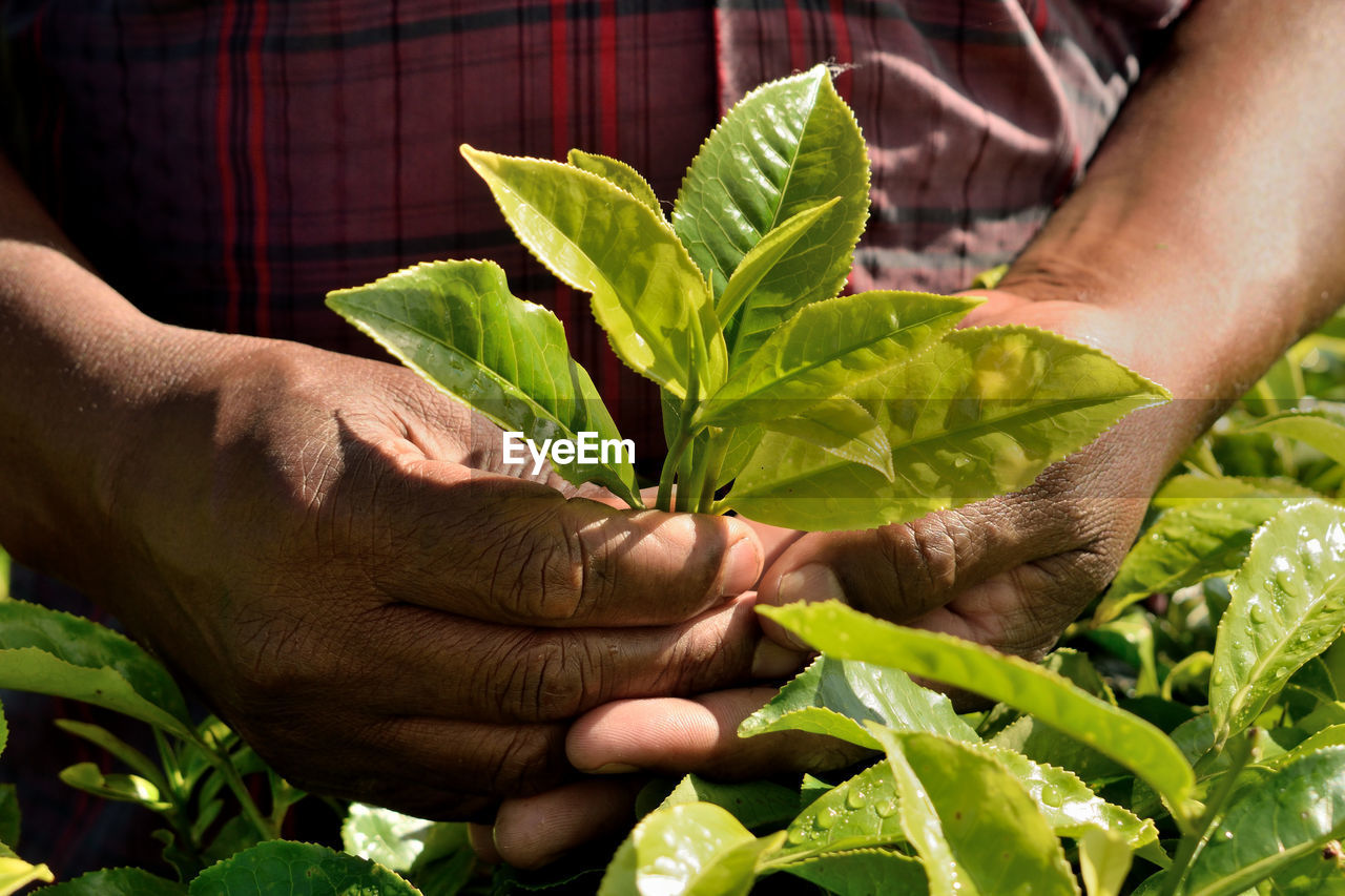 Midsection of man holding tea leaves on field
