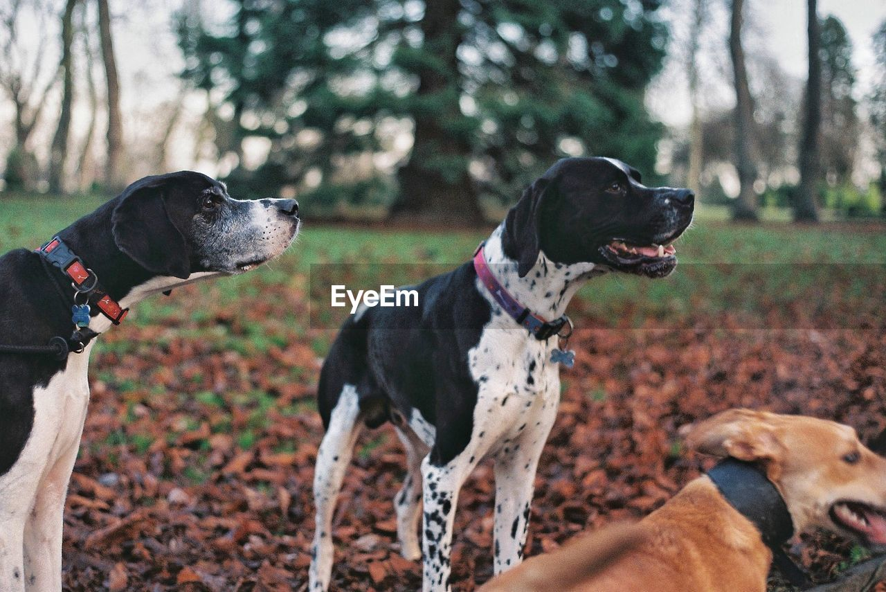 Dogs Standing By Dried Leaves On Field