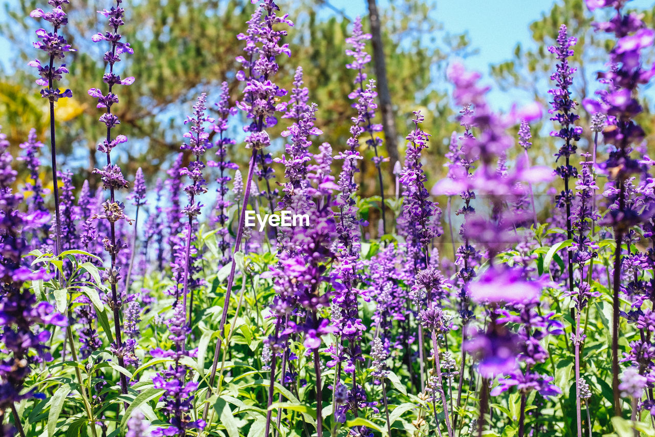 Close-up of lavender flowers blooming on field