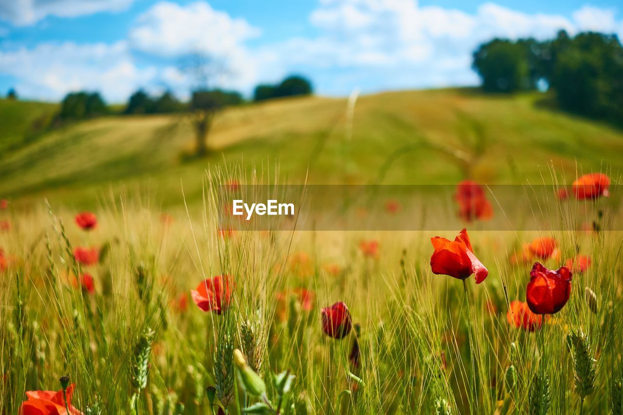 plant, field, growth, flower, beauty in nature, land, flowering plant, poppy, red, environment, freshness, vulnerability, fragility, nature, landscape, sky, green color, petal, flower head, no people, outdoors