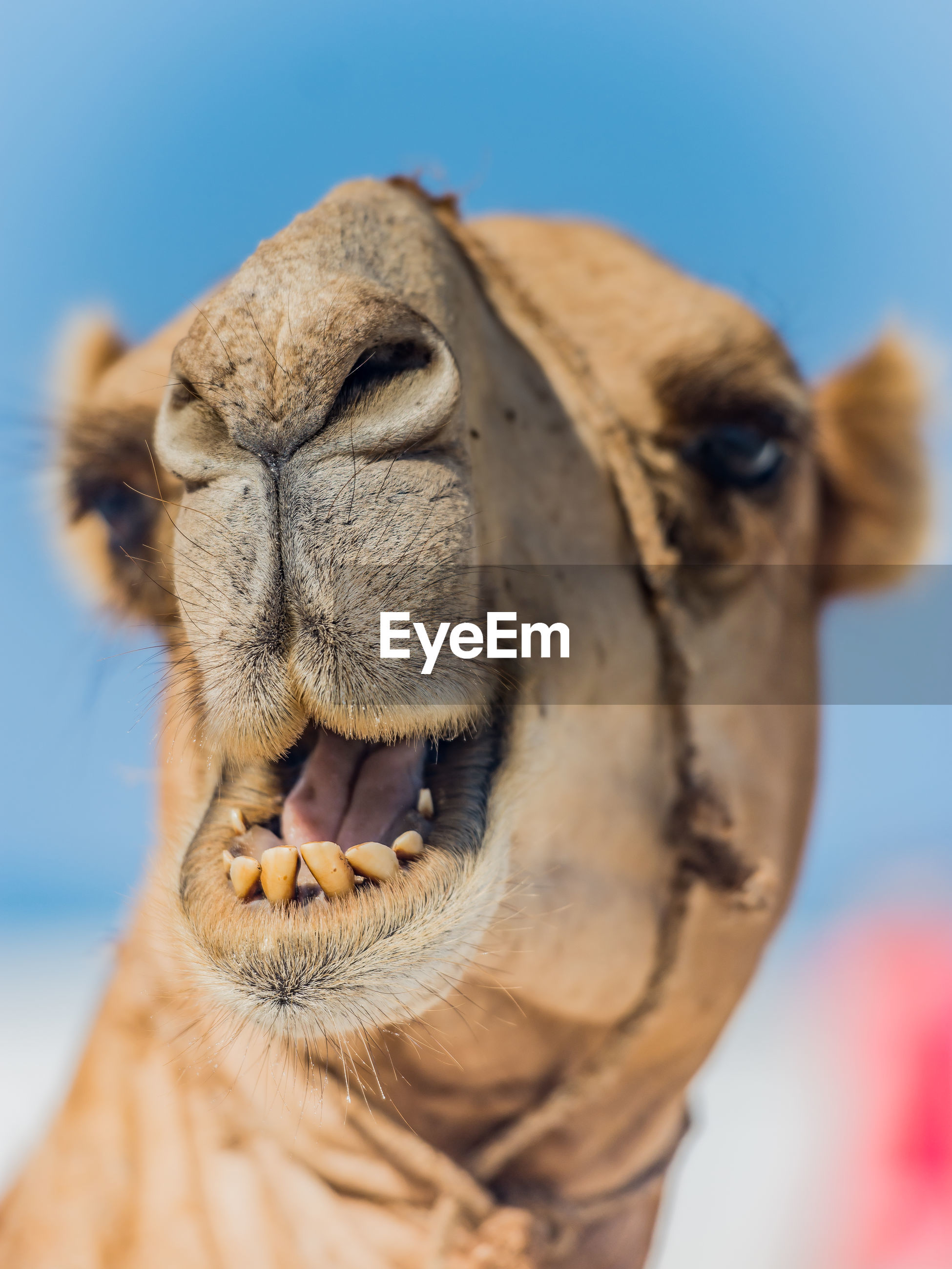 Close-up of camel with mouth open against sky