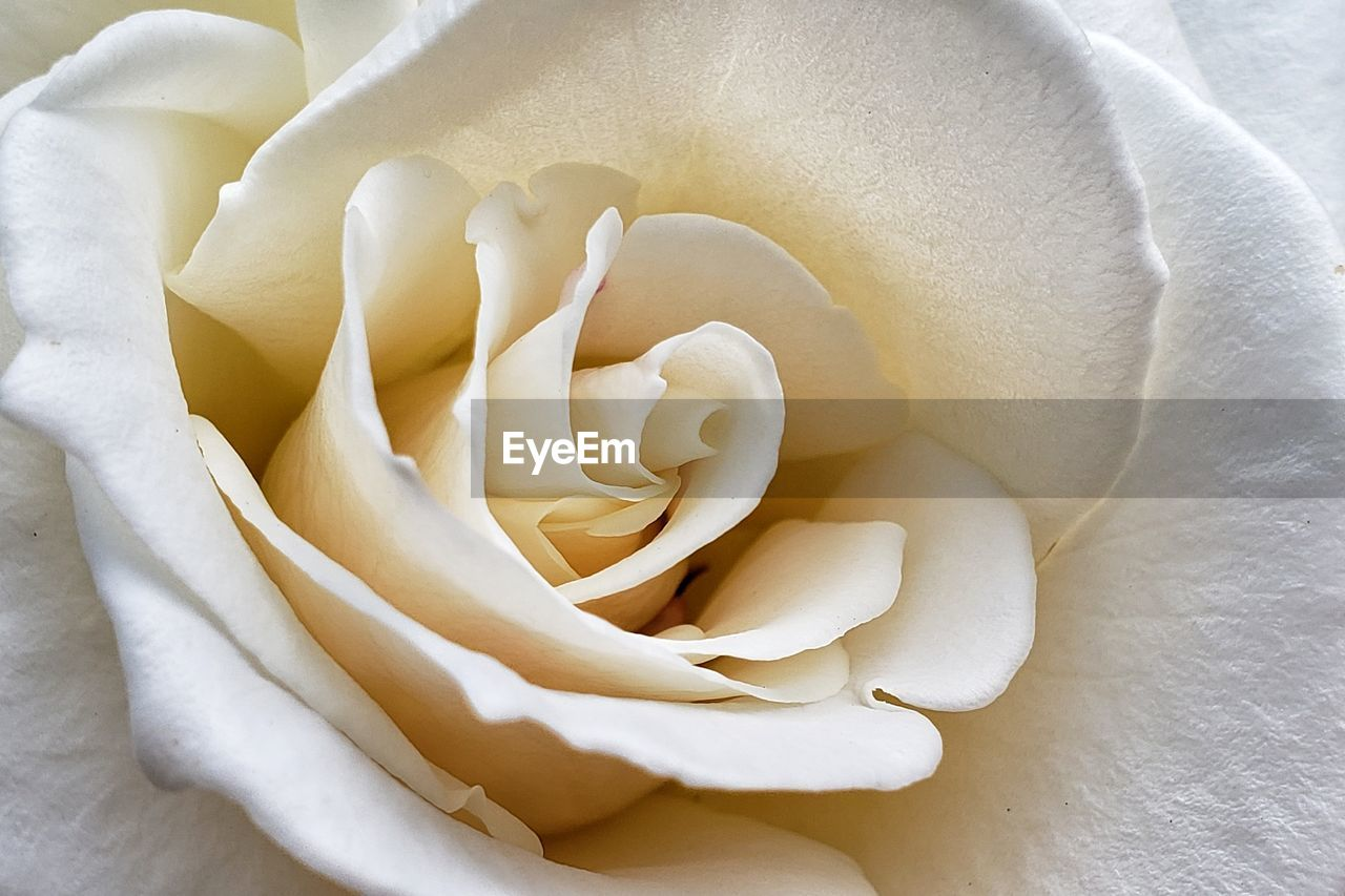 flower, flowering plant, beauty in nature, vulnerability, fragility, plant, inflorescence, petal, rose, flower head, rose - flower, close-up, freshness, growth, no people, nature, white color, full frame, softness