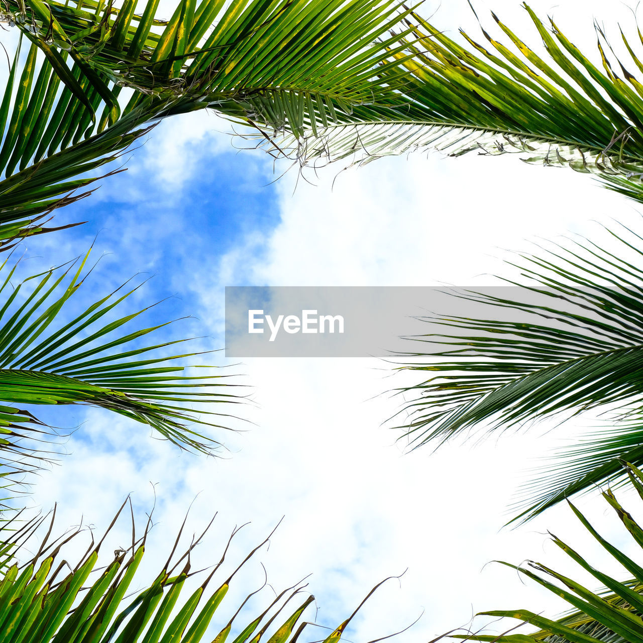 plant, tree, low angle view, sky, palm tree, growth, green color, leaf, palm leaf, nature, beauty in nature, tropical climate, day, no people, plant part, tranquility, branch, cloud - sky, outdoors, sunlight, pine tree, treetop, coniferous tree, coconut palm tree, directly below, tropical tree