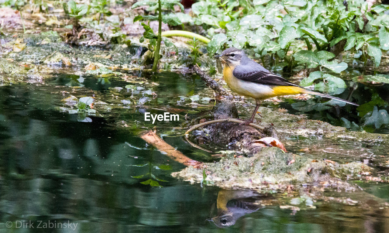 animal themes, animal, animal wildlife, animals in the wild, vertebrate, bird, water, one animal, lake, nature, perching, day, reflection, no people, plant, outdoors, waterfront, animal family