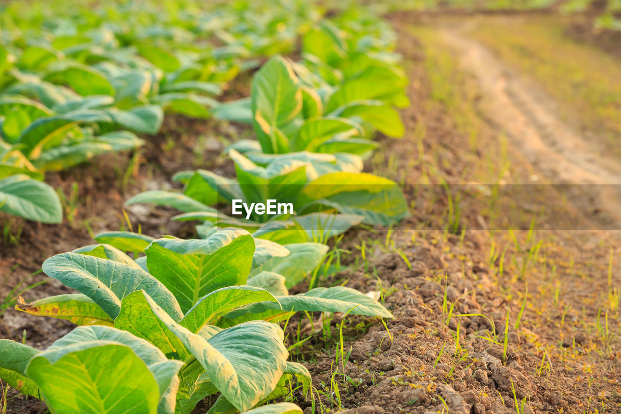 growth, leaf, plant part, green color, plant, nature, field, land, focus on foreground, no people, close-up, beauty in nature, day, dirt, outdoors, agriculture, botany, beginnings, herb, freshness, gardening, plantation
