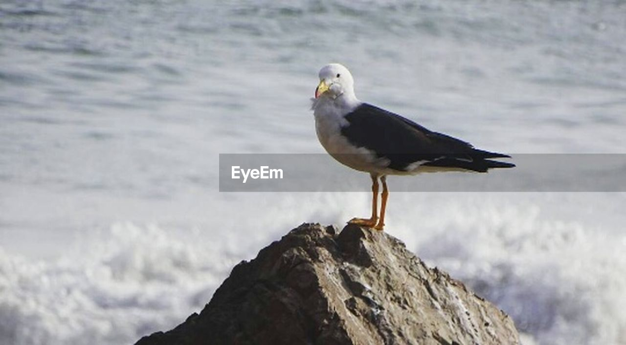 one animal, bird, animal wildlife, animals in the wild, sea, nature, seagull, animal themes, day, perching, no people, outdoors, beak, beach, water, bald eagle, close-up