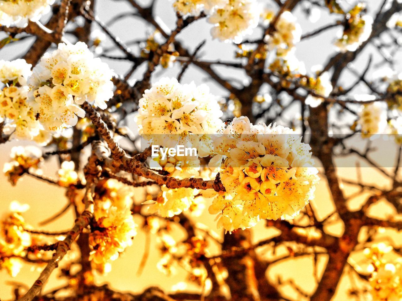 flower, flowering plant, plant, growth, fragility, freshness, beauty in nature, vulnerability, springtime, blossom, tree, branch, close-up, nature, white color, no people, focus on foreground, day, inflorescence, flower head, cherry blossom, outdoors, cherry tree, spring