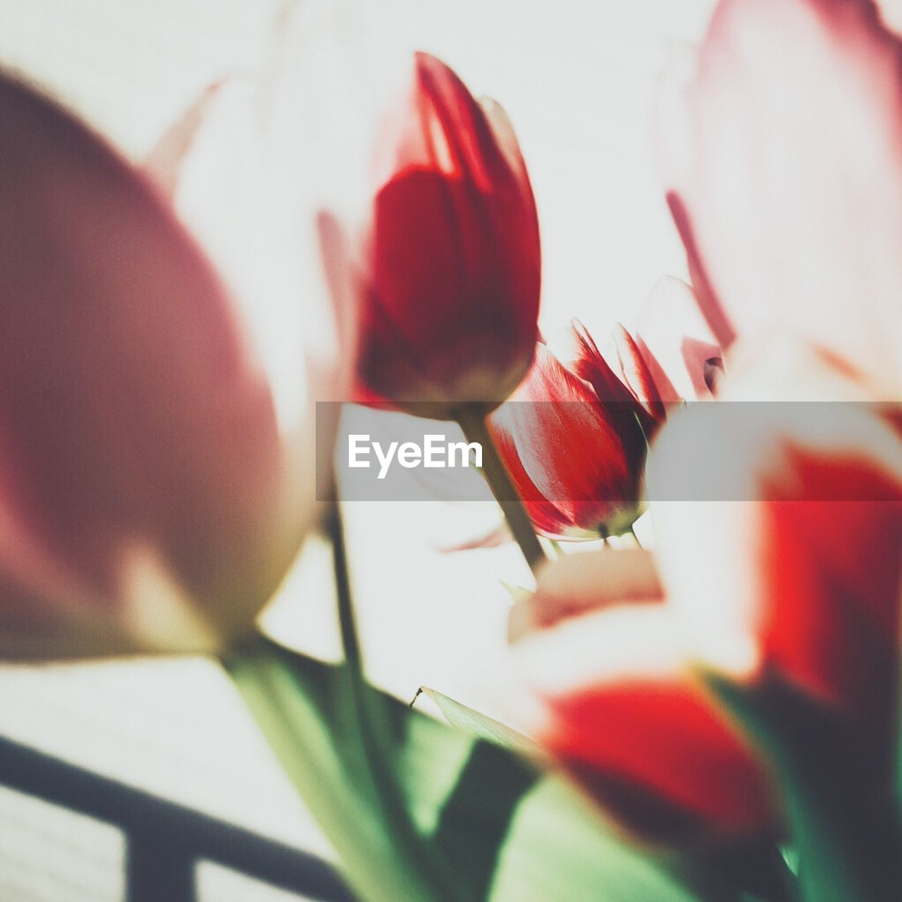 flower, petal, selective focus, fragility, growth, beauty in nature, freshness, nature, plant, red, flower head, close-up, no people, day, blooming, outdoors