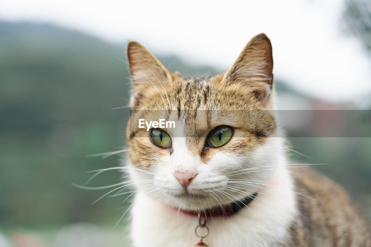 pets, cat, domestic animals, mammal, domestic, feline, domestic cat, portrait, one animal, vertebrate, looking at camera, focus on foreground, whisker, day, close-up, no people, animal body part, tabby, animal eye, snout