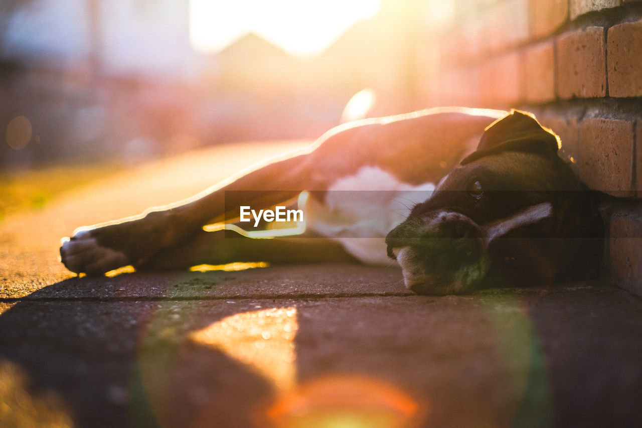 Boxer lying on footpath by wall during sunset