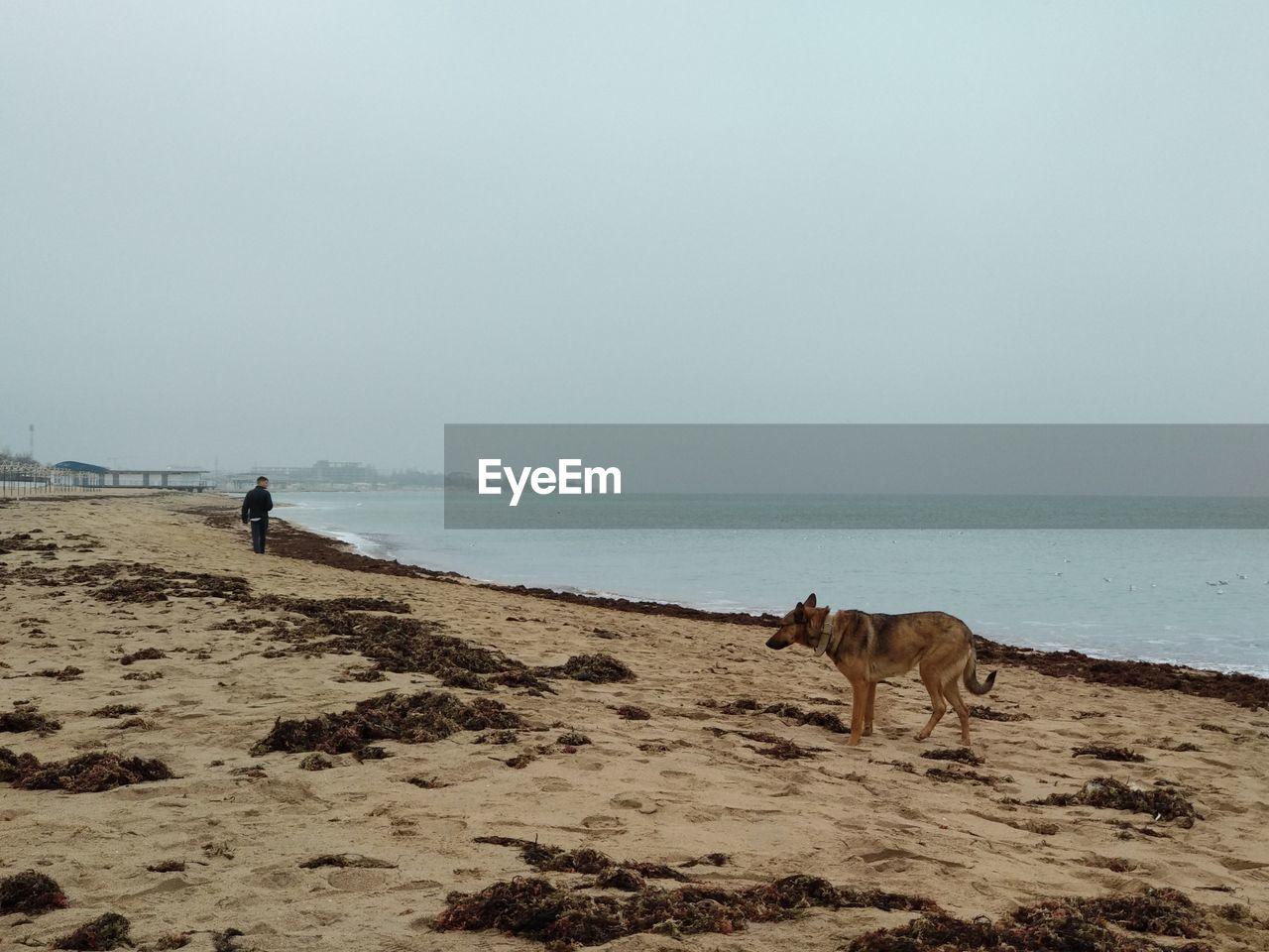 sea, domestic animals, sky, domestic, mammal, pets, land, one animal, water, animal, horizon, animal themes, beach, horizon over water, dog, canine, vertebrate, beauty in nature, clear sky
