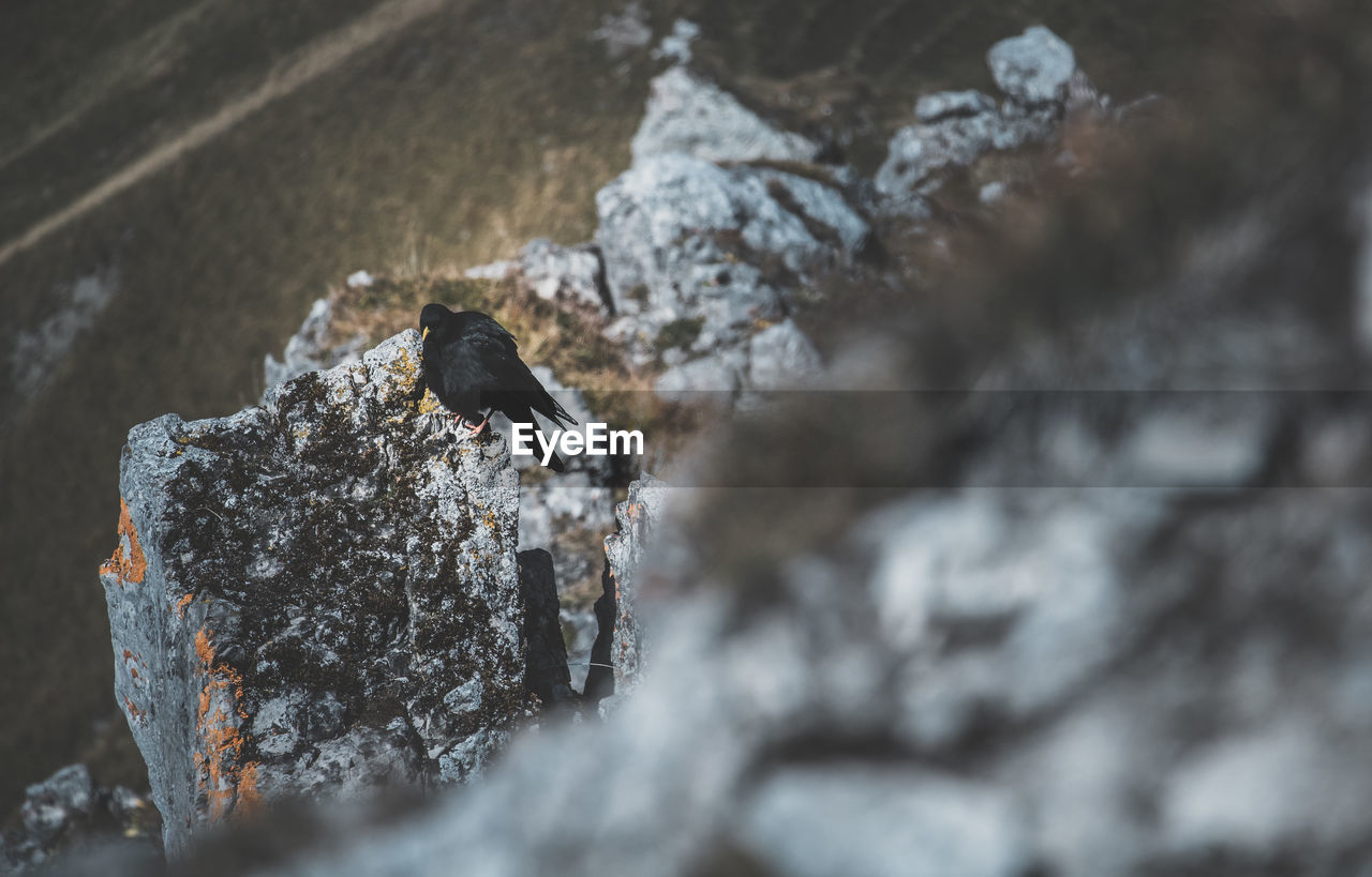 animals in the wild, animal themes, animal wildlife, animal, bird, vertebrate, one animal, rock, solid, rock - object, no people, day, nature, outdoors, cold temperature, perching, winter, close-up, black color, selective focus