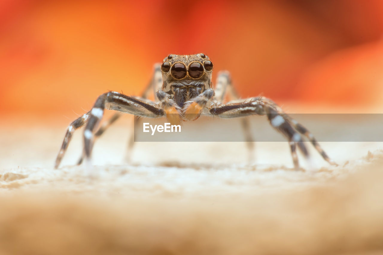 animal themes, animal, animals in the wild, selective focus, animal wildlife, one animal, arachnid, close-up, spider, jumping spider, arthropod, zoology, invertebrate, no people, animal body part, day, eye, nature, insect, outdoors, animal eye