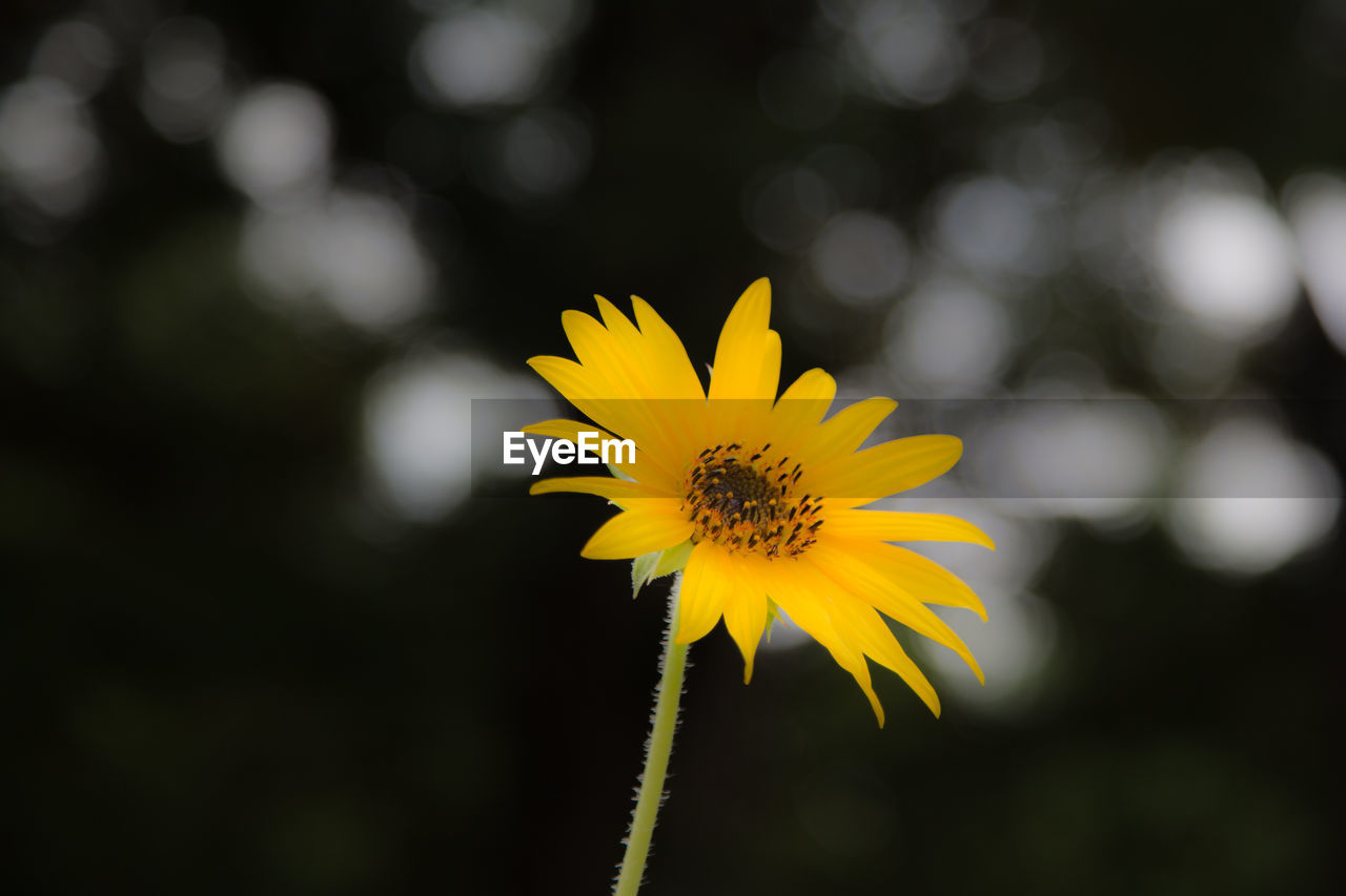 flower, yellow, flowering plant, vulnerability, fragility, plant, freshness, beauty in nature, growth, petal, focus on foreground, close-up, flower head, inflorescence, nature, day, no people, outdoors, pollen, sepal
