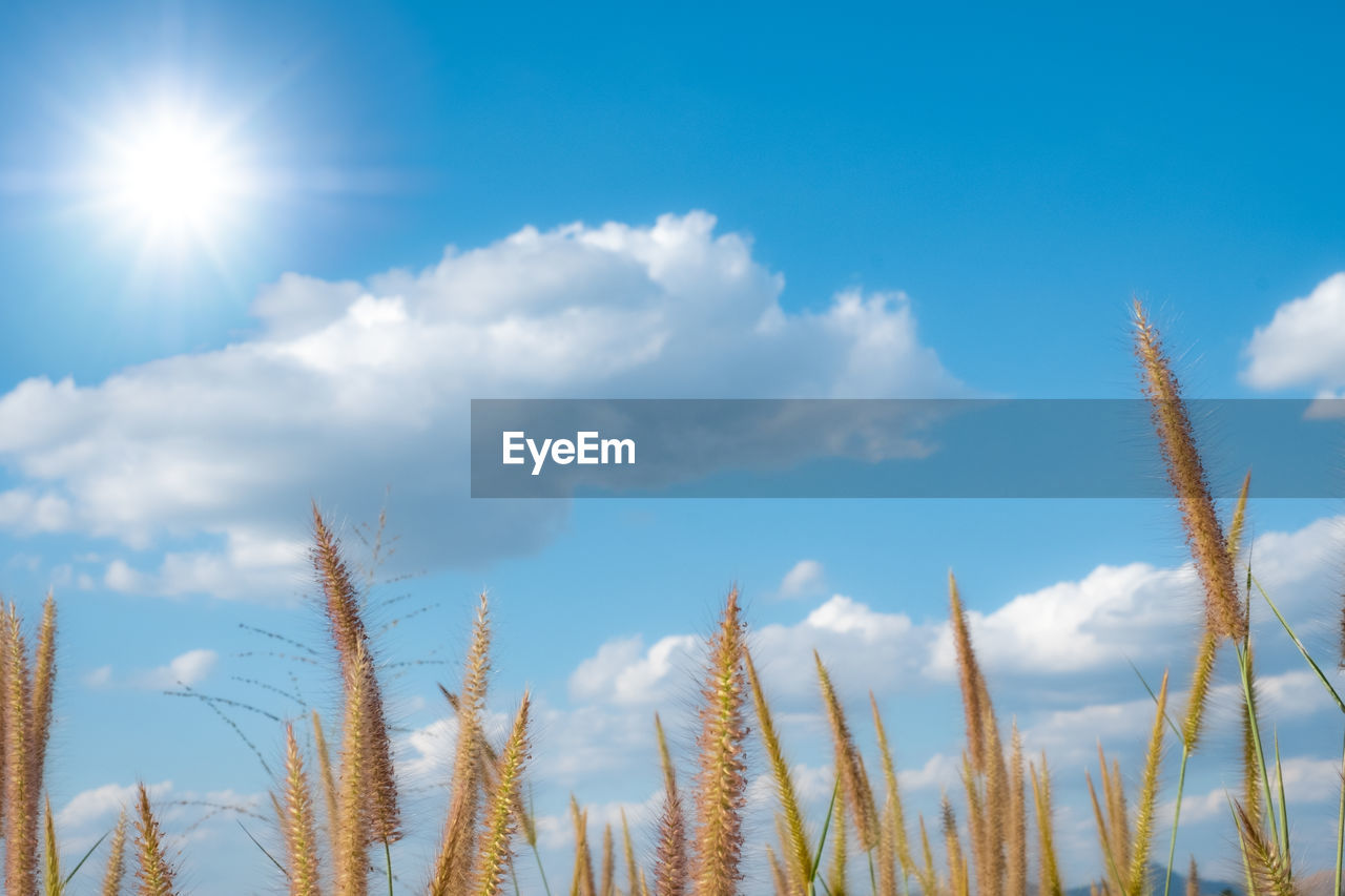 sky, growth, plant, cloud - sky, beauty in nature, nature, tranquility, sunlight, day, no people, low angle view, tranquil scene, scenics - nature, outdoors, crop, agriculture, close-up, focus on foreground, field, land, lens flare, stalk