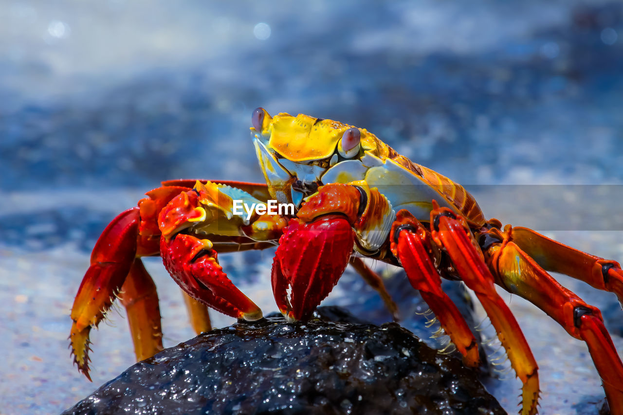 Close-Up Of Red Crab On Rock At Beach