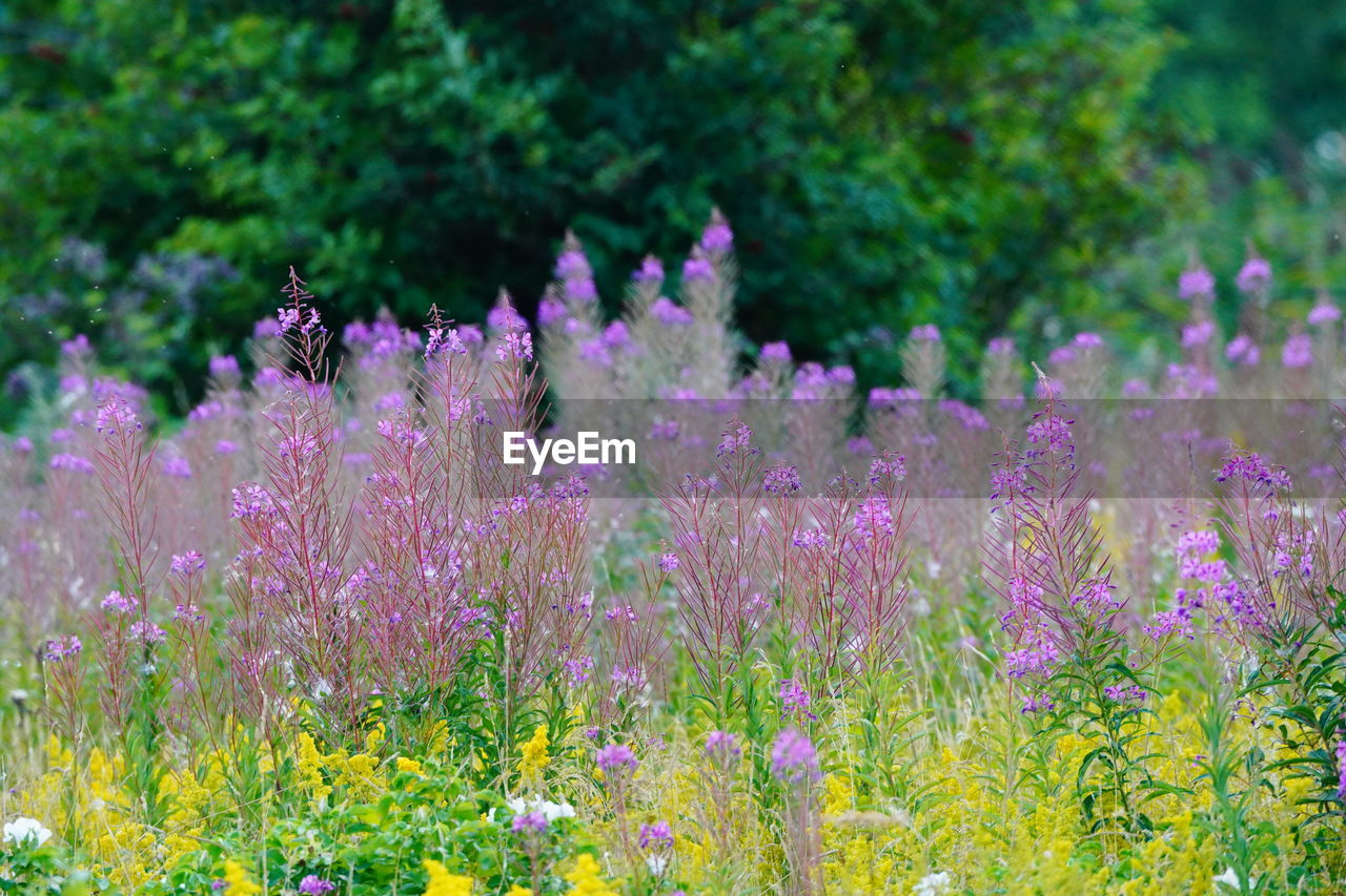flower, flowering plant, plant, growth, beauty in nature, freshness, fragility, vulnerability, purple, field, land, day, nature, no people, animals in the wild, pink color, selective focus, animal, animal themes, flower head, outdoors, lavender