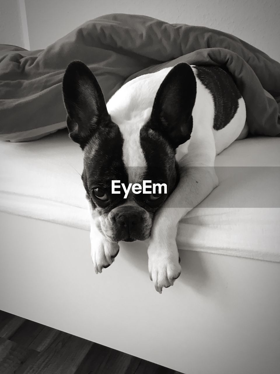 one animal, pets, domestic animals, canine, mammal, dog, domestic, indoors, animal, animal themes, furniture, relaxation, vertebrate, home interior, portrait, looking at camera, resting, bed, no people, french bulldog, animal head