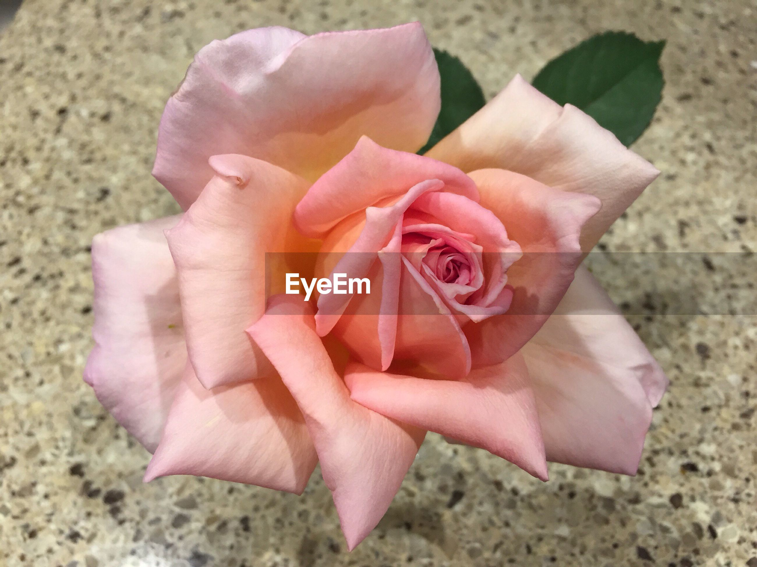 flower, petal, flower head, fragility, single flower, pink color, freshness, close-up, beauty in nature, nature, focus on foreground, growth, pink, rose - flower, high angle view, blooming, outdoors, day, plant, in bloom