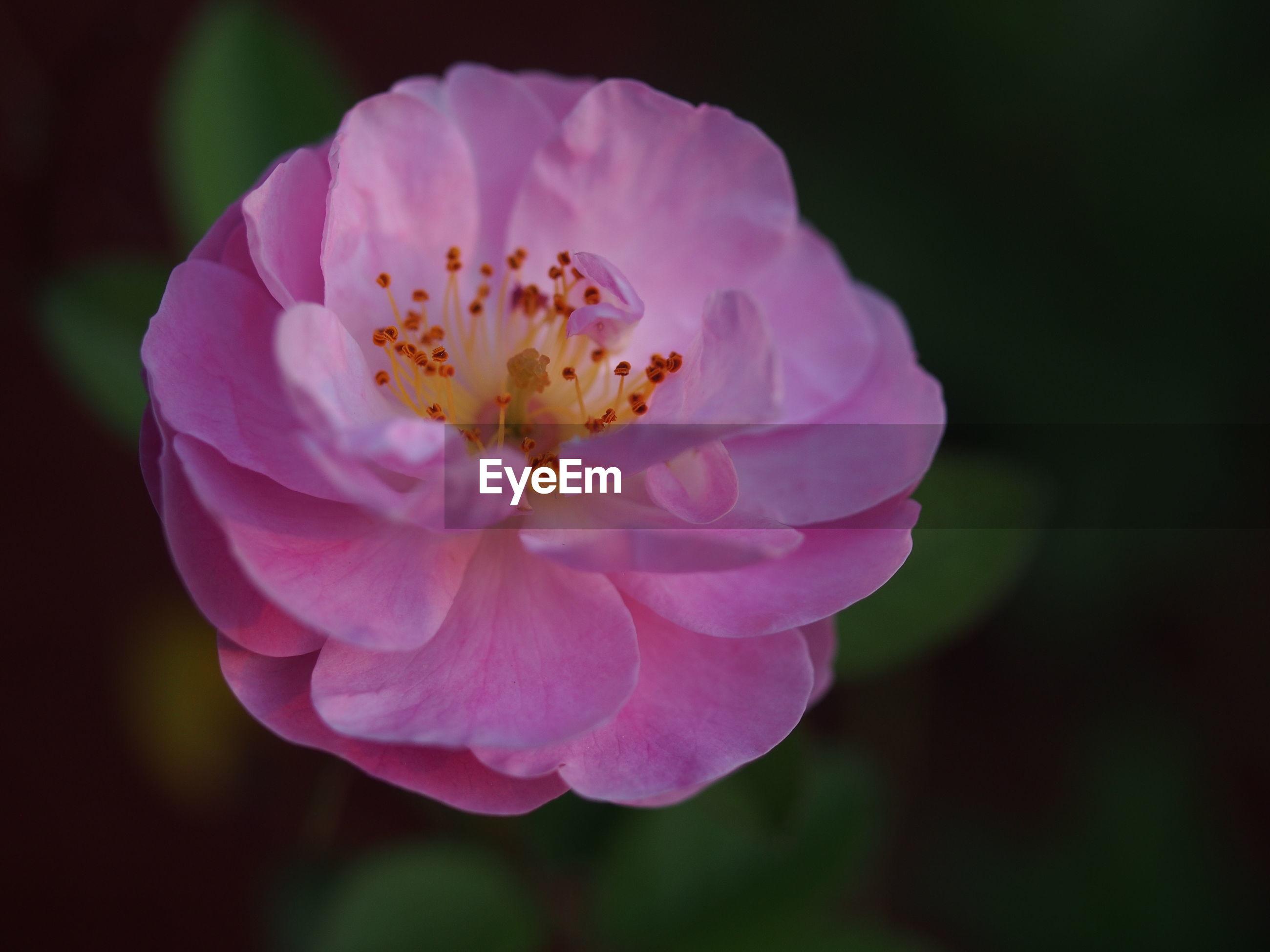 CLOSE-UP OF PINK ROSE