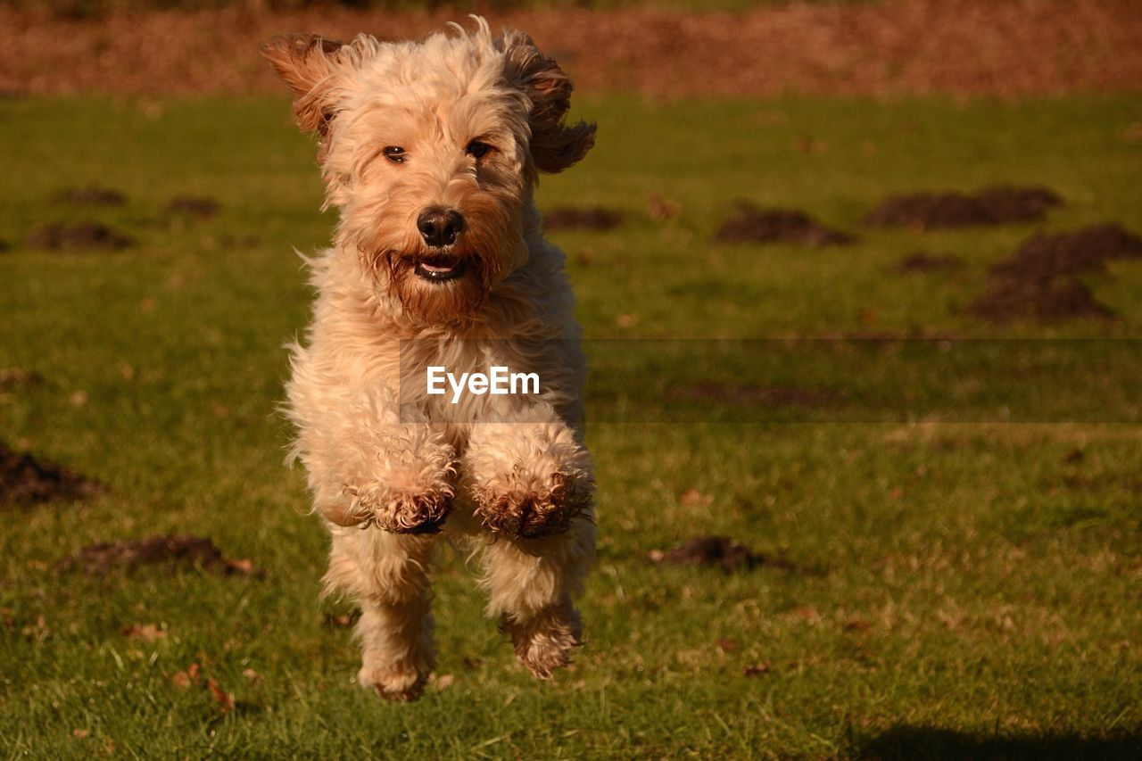 domestic, pets, domestic animals, one animal, mammal, canine, dog, animal themes, animal, portrait, grass, looking at camera, field, plant, vertebrate, land, no people, running, nature, day, small, purebred dog